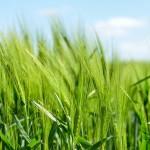 Gerste enthält viele wichtige Nährstoffe